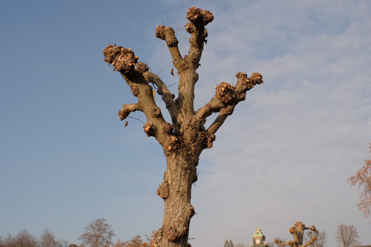 tree crown without leaves