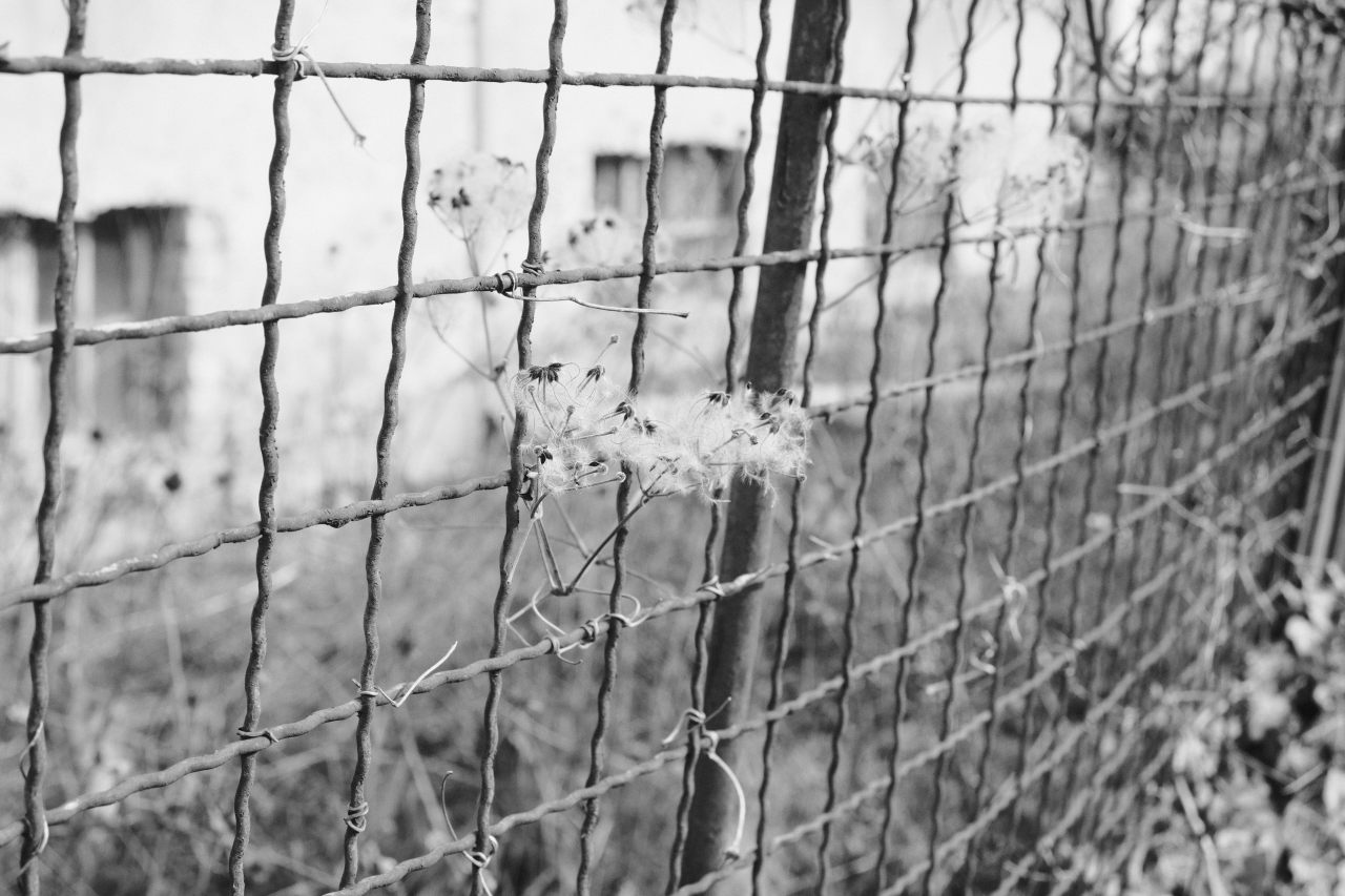 dandelions caught in fence
